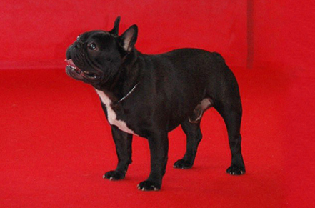 Un bouledogue brindle Maschio