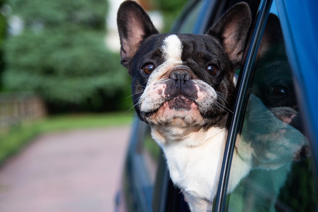 Cane che prende aria dal finestrino di un automobile