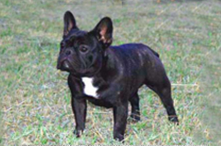 Un bouledogue brindle femmina