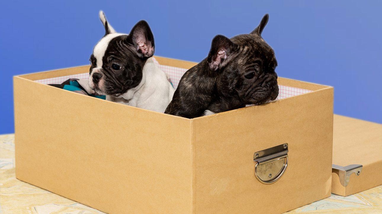 2 Bouledogue in scatola che guardano in direzioni opposte