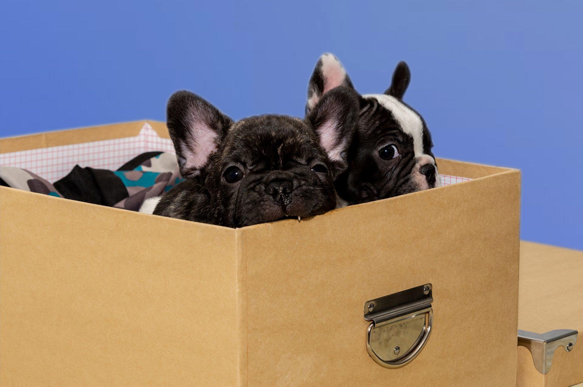 2 Bouledogue in scatola con uno che mordicchia un lato della scatola (no, non e lo stesso di prima)