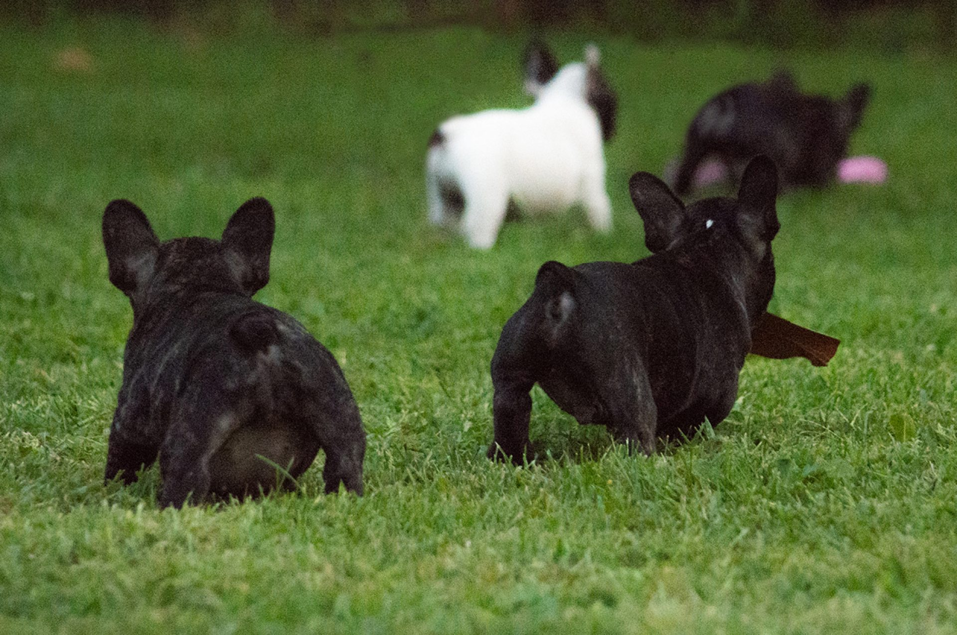 4 Bouledogue in giardino che stano giocando sul prato