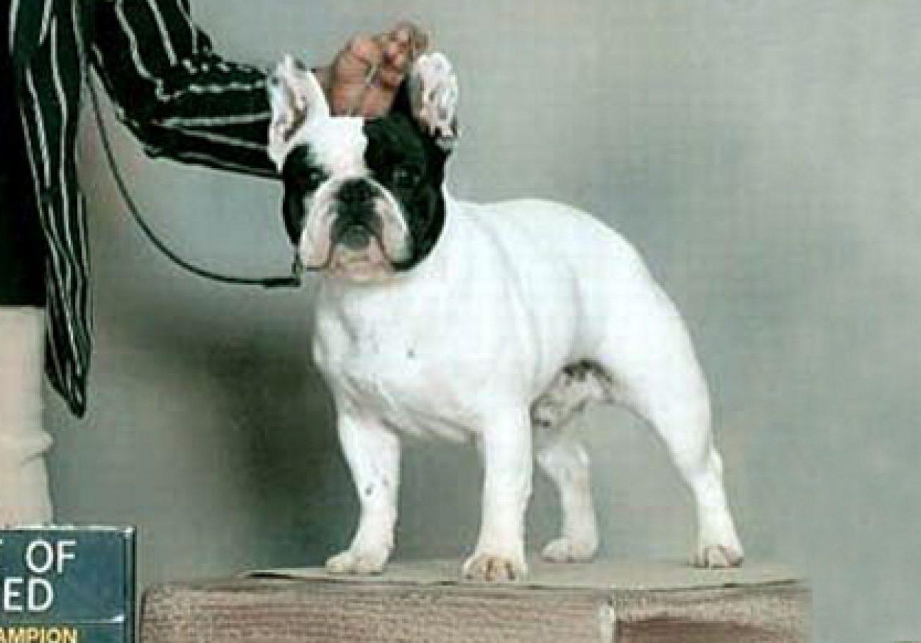 Un bouledogue pied Maschio